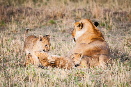 Lioness and her little lion cubs in Kenya Stock Photo