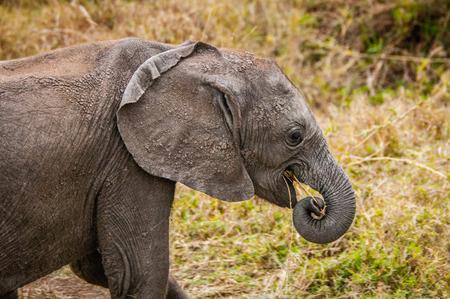 nakuru: African elephant in Kenya Stock Photo