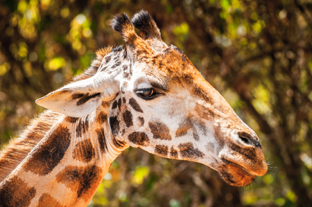 Giraffe in Kenya, Africa Stock Photo