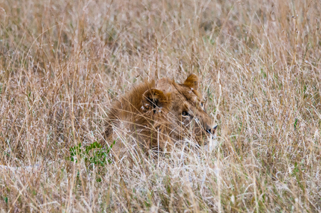 Lion hides in the high grass preparing to attack during the hunting