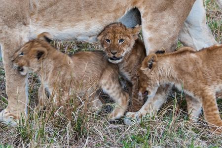 Little lions play between the legs of the mother