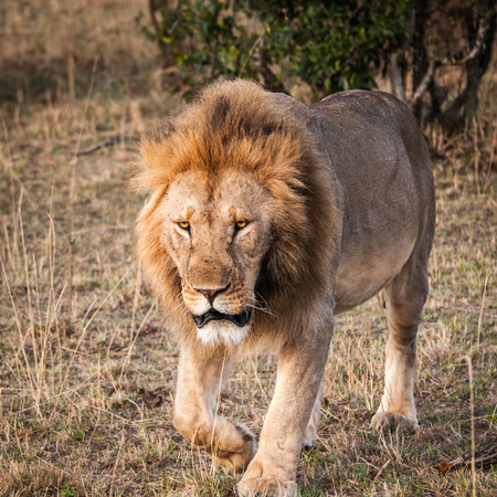 Sad Lion, the king of the jungle, in Kenya Stock Photo