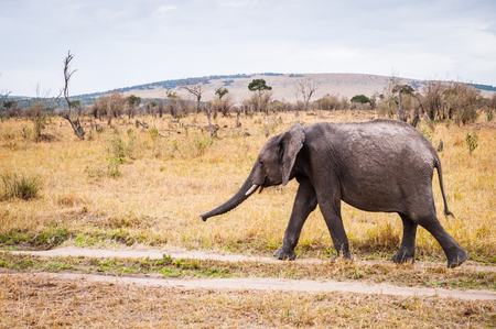 African elephant walks in Kenya