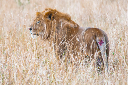 Gorgeous lion walks over the savanna for hunting Stock Photo