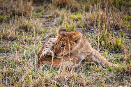 Little lion cub in Kenya