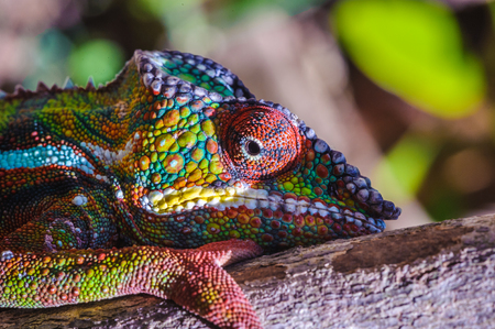 Close up of a chameleon of Madagascar