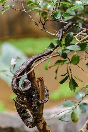 Madagascar Ground Boa on a stick