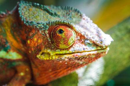 Oustalets or Malagasy giant chameleon (Furcifer oustaleti) Stock Photo