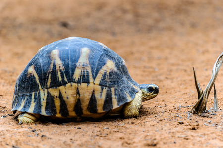 Radiated tortoise (Astrochelys radiata, a species in the family Testudinidae.