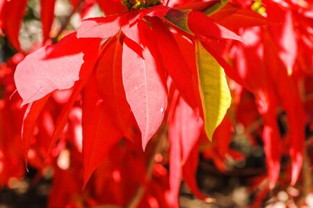 Red leaves of a tree in Madagascar