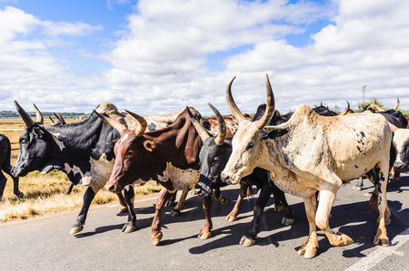 Flock of cows run on the road