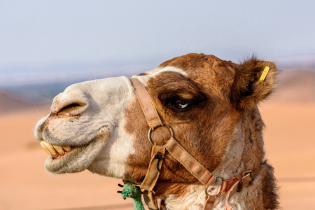Portrait of a camel in the desert of Morocco