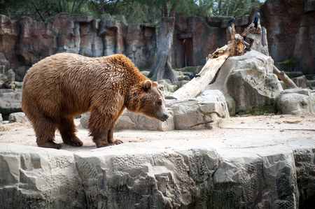 Brown bear (Ursus arctos) walks over on the rock