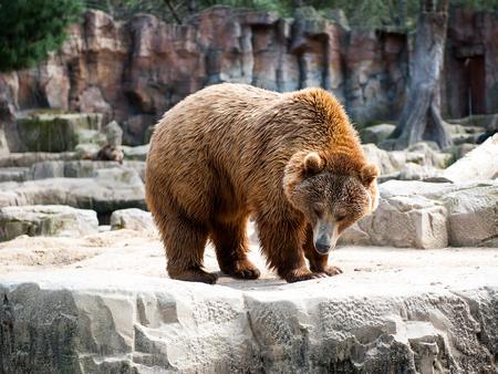 Brown bear (Ursus arctos) walks over on the rock