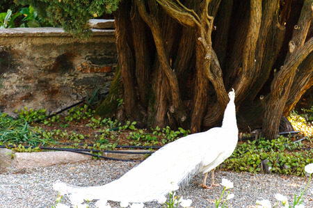 Peacock in the garden of Isola Bella, Italy