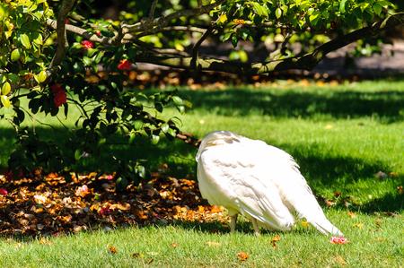 Peacock in the garden of Isola Bella, Italy