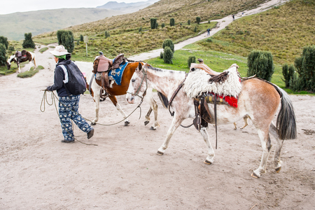 QUITO, ECUADOR - JAN 4, 2015: Beautiful Ecuadorian horses walk loaded with a charges. In Ecuador the horses are used to transport different charges over the mountains