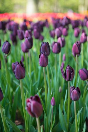 Black tulips in the Keukenhof park in Netherlands Stock Photo