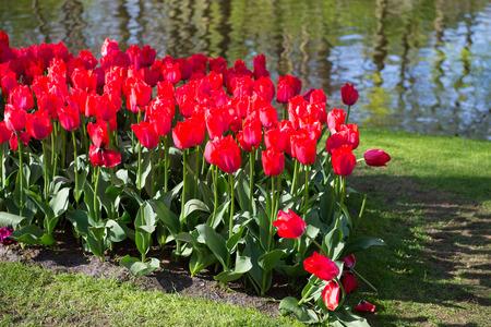 Tulips in the Keukenhof park in Netherlands