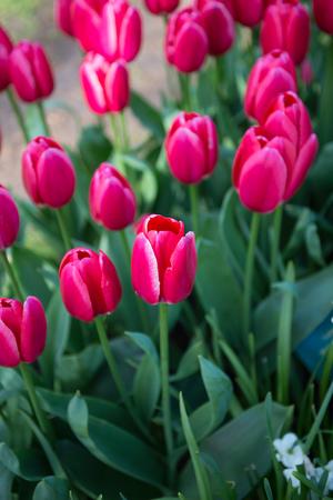 Violet tulips in the Keukenhof park in Netherlands Stock Photo