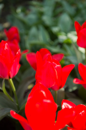 Close up of Red tulips in the Keukenhof park in Netherlands