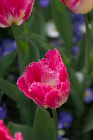 Spring flowers in the Keukenhof park in Netherlands