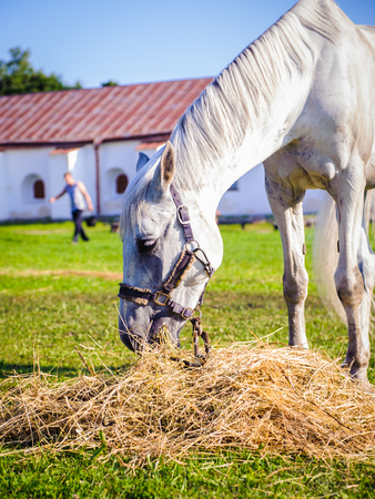 White beautiful horse