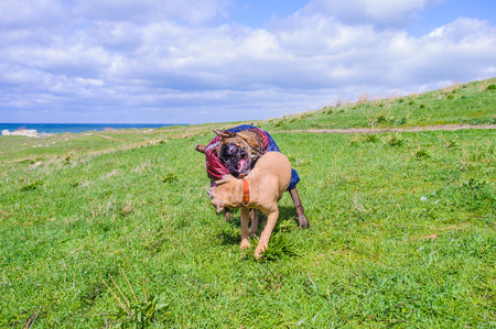 Two dogs play over the grass and the sea is bihind
