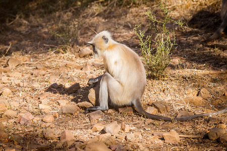 Monkeys on in the Reserve of Ranthambor in India Stock Photo