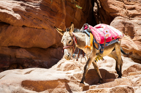 Donkey  walks over the rocks in Petra (Rose City), Jordan. The city of Petra was lost for over 1000 years. Now one of the Seven Wonders of the Word