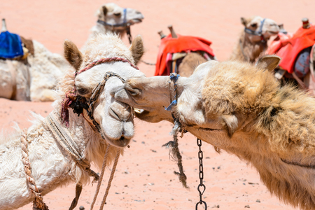 Two camels kiss each other