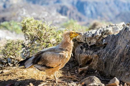 Egyptian Vulture (Neophron percnopterus) on the Socotra Island, Yemen. Stock Photo