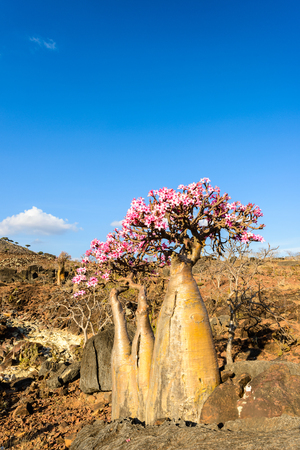Dry dragon tree in the Socotra Island, Yemen.