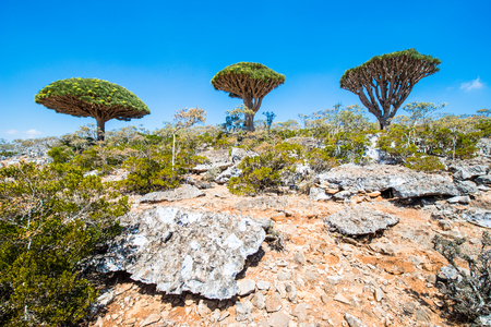 Dragon tree on the Socotra Island, Yemen