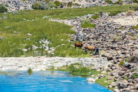 Cow on the Socotra Island, Yemen
