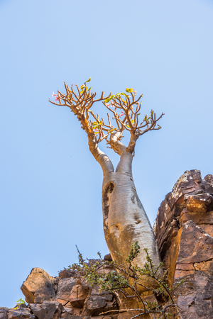 Baob tree on the Socotra Archipelago, Yemen
