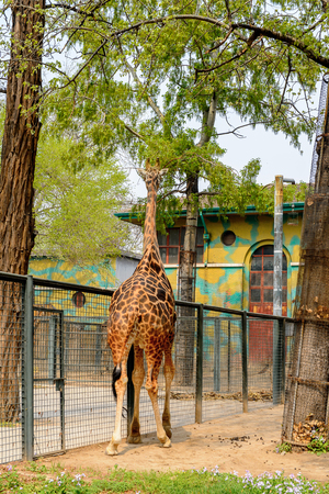 Giraffe at the  Beijing Zoo, a zoological park in Beijing, China. Stock Photo