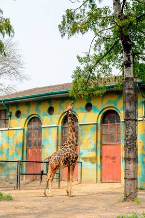 Giraffe at the  Beijing Zoo, a zoological park in Beijing, China. Editorial