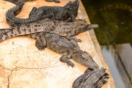 Crocodiles on a farm in Combodia 스톡 콘텐츠