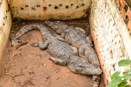 Crocodiles on a farm in Combodia Stock Photo