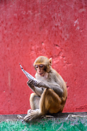 Burmese monkey in Myanmar Stock Photo