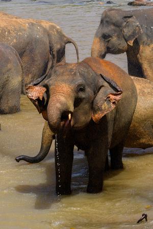 Asian elephant in Pinnawala Orphanage,  Wilpattu National Park, Sri Lanka