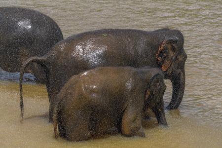 Asian baby elephant in Pinnawala Orphanage,  Wilpattu National Park, Sri Lanka