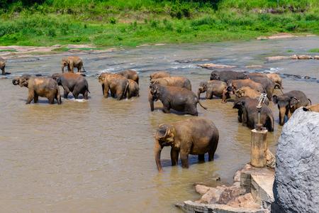 Asian elephant in the water, Pinnawala Orphanage,  Wilpattu National Park, Sri Lanka 免版税图像