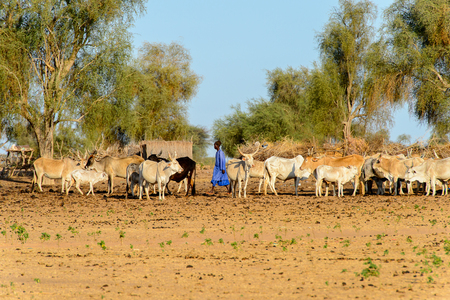 FERLO DESERT, SENEGAL - APR 25, 2017: Unidentified Fulani boy grazes cows. Fulanis (Peul) are the largest tribe in West African savannahs