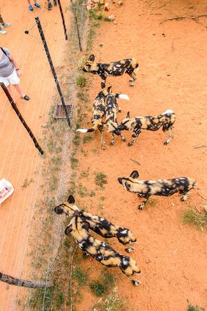 NAANKUSE WILDLIFE SANCTUARY, NAMIBIA - JAN 2, 2016: Unidentified people watching wild dogs at the Naankuse Wildlife Sanctuary. Popular touristic Destination.