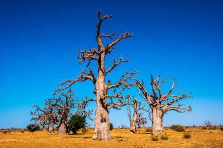 Baobab in Senegal, Africa