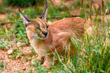 Close up of a caracal at the Naankuse Wildlife Sanctuary, Namibia, Africa