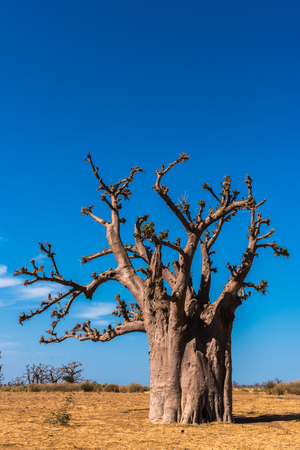 Dry baobab tree in Africa