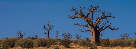 Baobab, Senegal, Africa Reklamní fotografie